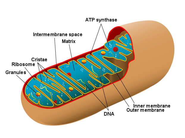 Mitochondrion immage